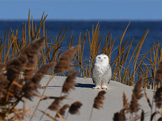 Snowy Owl on beach dune © Richard Cuzner