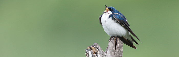 Tree swallow © Ann Marie Lally