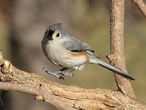 tufted titmouse © Anne Greene