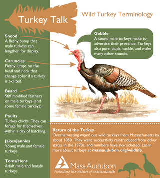 Wild turkey terminology