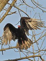 Turkey Vulture © Dominic Poliseno