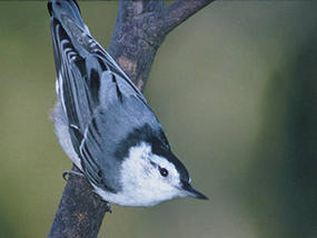 white-breasted nuthatch © USFWS