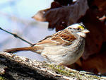 white-throated sparrow © Ken Thomas