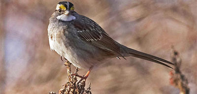 White-throated Sparrow closeup in fall