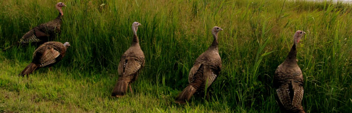 Wild turkeys © Alison Colby Campbell