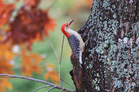 Red-bellied Woodpecker male © Gerry Farquharson