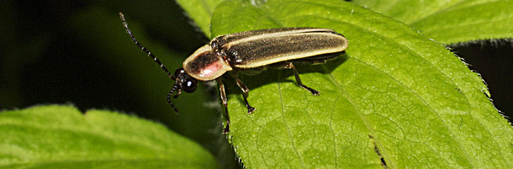 Closeup of firefly on leaf © Don Salvatore