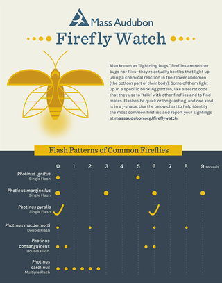 Firefly Flashes ID infographic