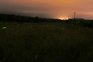Firefly flashes in a field © Greg Saulmon