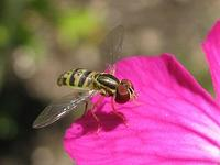 Hoverfly © Gilles Gonthier 2006