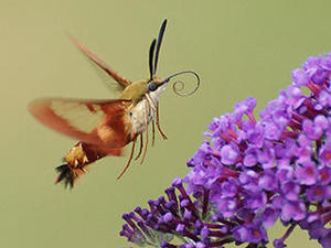 Hummingbird clearwing moth © Susan Grimwood