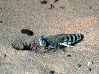 Sand wasp © Howard Ensign Evans, Colorado State University, Bugwood.org