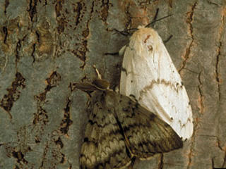 Adult gypsy moth food