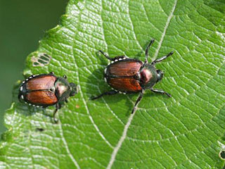 Two Japanese beetles © Steven Katovich, USDA Forest Service, Bugwood.org