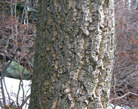 Amur Cork Bark