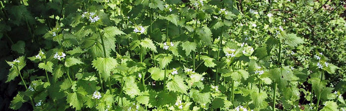 Garlic mustard plants in bloom
