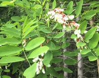 Black-locust-leaves-and-flowers-600