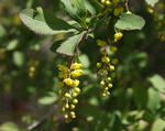 Common-barberry-flowers-and-leaves-600