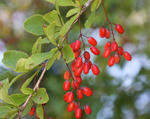 Common-barberry-leaves-and-ripe-fruit-600