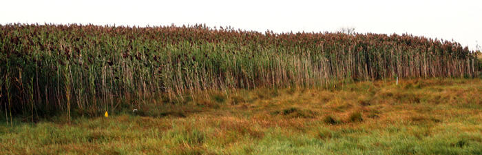 Dense common reed stand