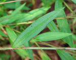 japanese stilt-grass leaves © David J. Moorhead, University of Georgia, bugwood.org