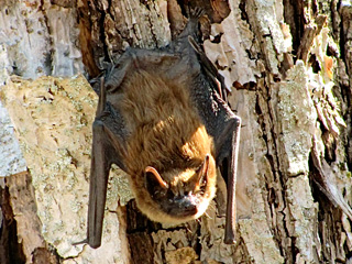 Bat on a tree © David McChesney