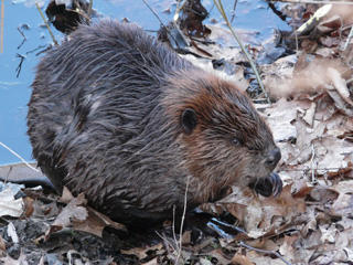 Beaver at Pleasant Valley Wildlife Sanctuary © Rene Laubach, Mass Audubon