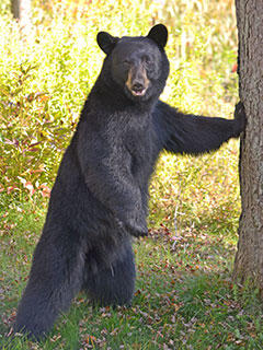 North Carolina 3-year-old says bear looked after him in ...