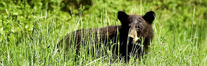 Black bear © USFWS Northeast Region, Wikimedia Commons