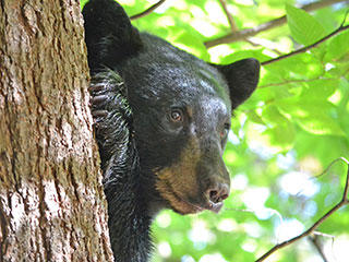Black bear © Karen Karlberg