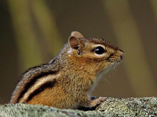 Chipmunk © Shawn P. Carey (Migration Productions)