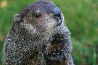 Ms. G, the Official State Groundhog of Massachusetts