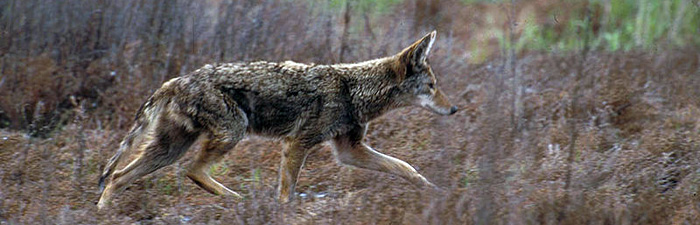 coyote walking © USFWS