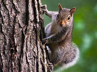 Gray squirrel © Dave Morrin