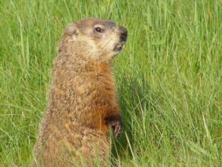 About Woodchucks