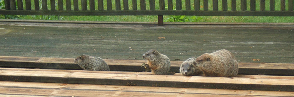 woodchucks situations solutions