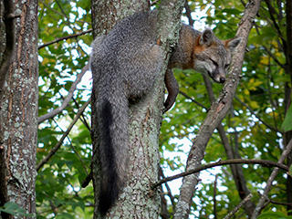 Gray Fox in a tree © Lincoln Clark