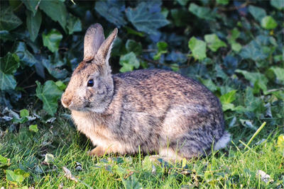 New England Cottontail rabbit by Nick Tepper (staff)