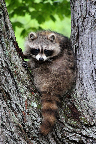 Raccoons Situations Amp Solutions