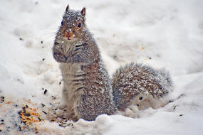 Squirrel digging for seeds in snow © Tania D'Avignon