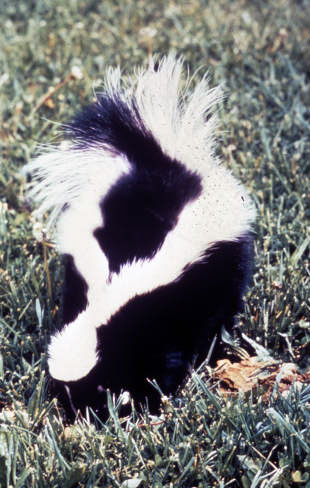 Striped skunk © John Collins, USFWS