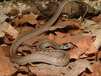DeKays Brown snake © Joy Marzolf, Mass Audubon