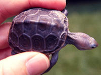 Diamond-backed terrapin © NOAA