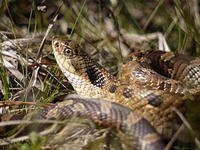 Hognose snake © Rosemary Mosco, Mass Audubon