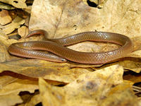 Worm Snake © Tom Tyning westernmassnaturalist.org