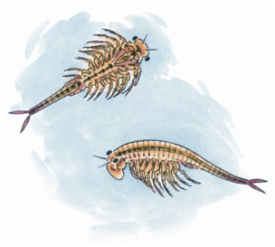 fairy shrimp, illustration by Barry Van Dusen