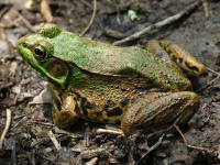 Green frog © Rosemary Mosco
