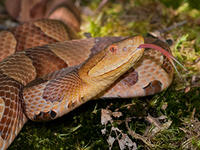 Copperhead Snake © Joy Marzolf, Mass Audubon