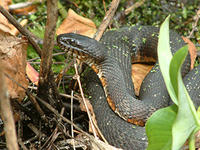 Northern Water Snake © Joy Marzolf, Mass Audubon