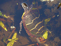 painted turtle © Rosemary Mosco, Mass Audubon
